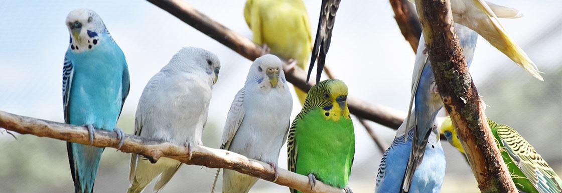 Aviary and cage birds